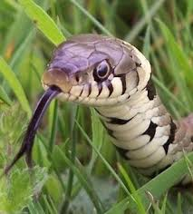 Image result for snake in the grass